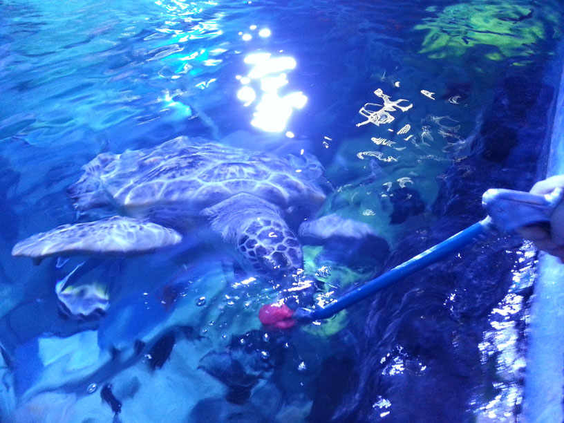 Feeding a Sea Turtle with our Feeding Grippers