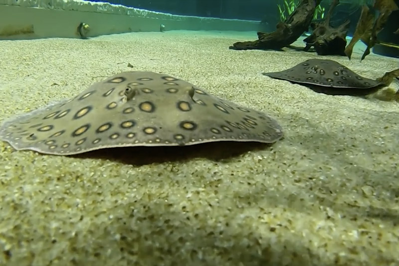 A second chance for rescued Stingrays