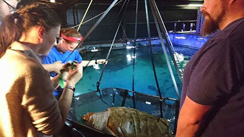 Vet check-up for a 140kg Loggerhead Turtle