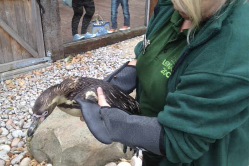 ZSL London Zoo using our Arm Guards whilst working with Penguins