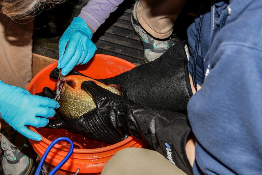Medically treating a Piranha safely with Venom Defender Gloves