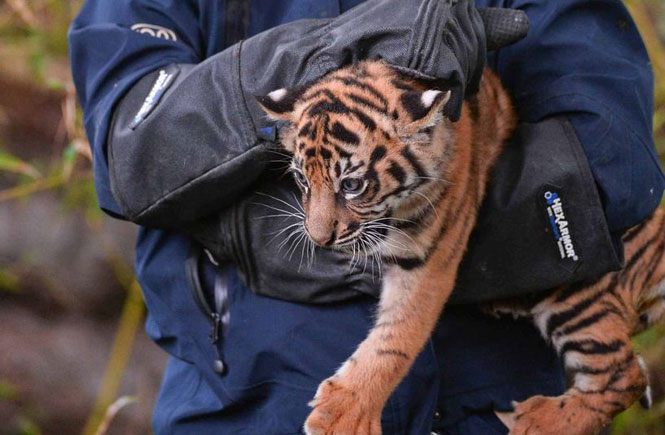 Health checks for Tiger cubs and Cheetahs at Chester Zoo